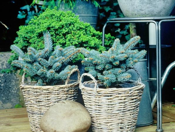 Växter för vinterbalkongen
